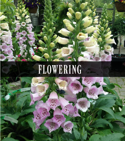 Perennials that bloom flowers during spring and summer