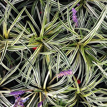 #5 LIRIOPE   Get creative with your shady areas with Silvery Sunproof Liriope! This cool perennial make that contrasting appearance interesting with its variegated look! Does best in part sun to full shade landscapes.