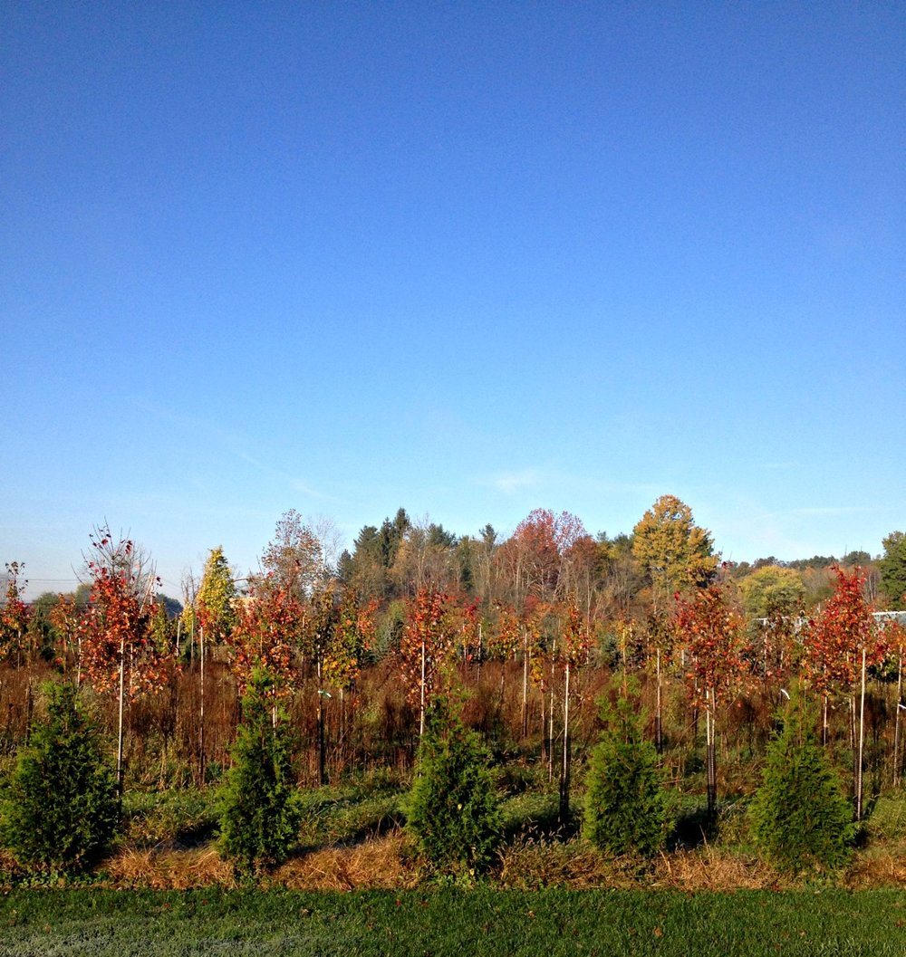 PREMIUM SHADE TREES - AVAILABLE NOW!