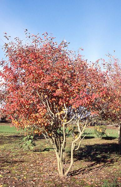 Albyns serviceberry autumn brilliance fall color altavistaventures Images