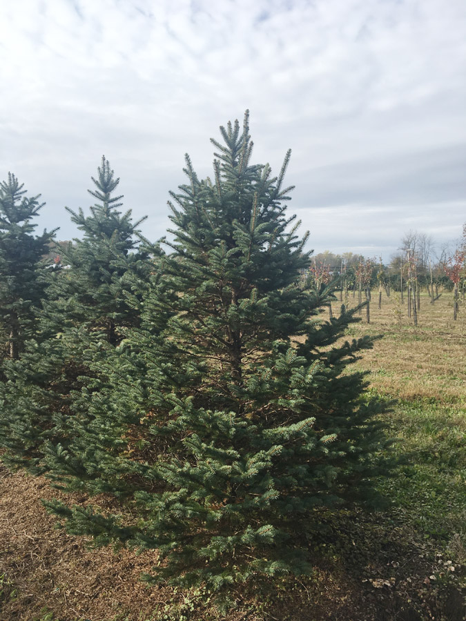 Evergreen Tree - Green Foliage All Year Long Cold Hardy Excellent Privacy Screens
