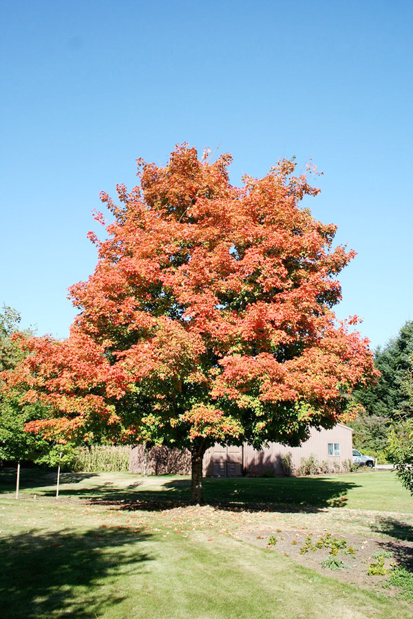 Shade Tree  - Brilliant Fall ColorEnergy Saver Increases House Value