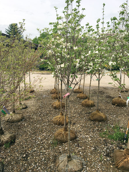 Dogwood Cherokee Princess Tree Rows_1.jpg
