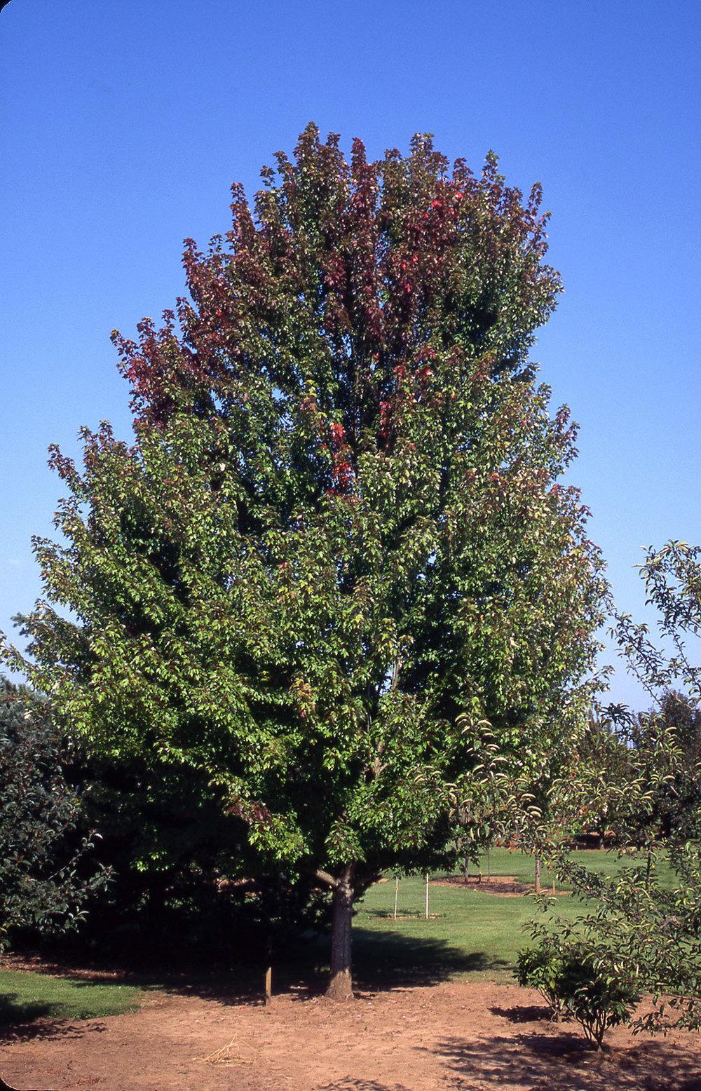 Autumn Blaze Maple summer foliage.jpg