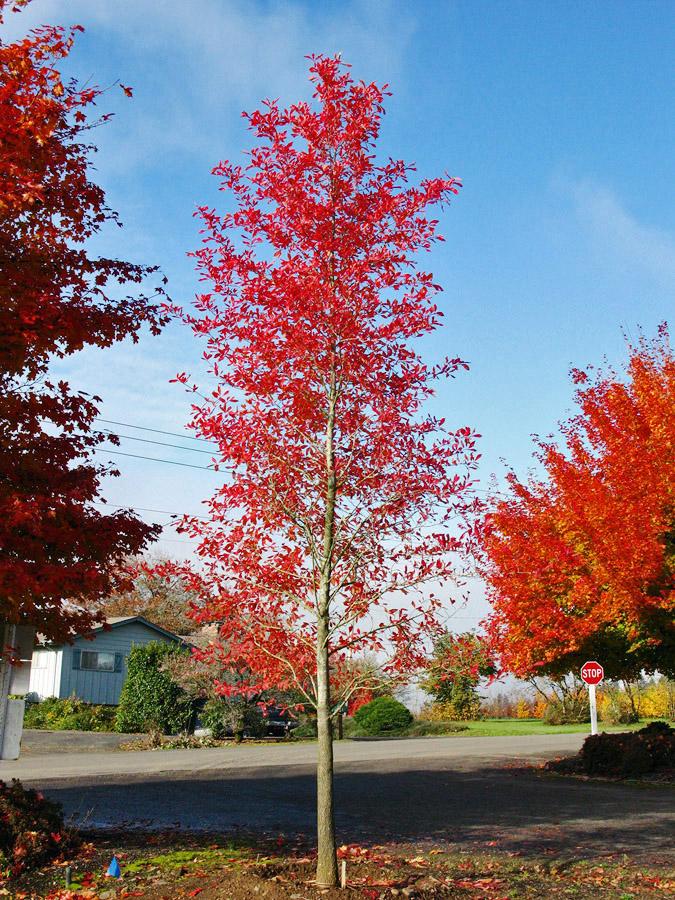 Afterburner Tupelo Fall Foliage.jpg