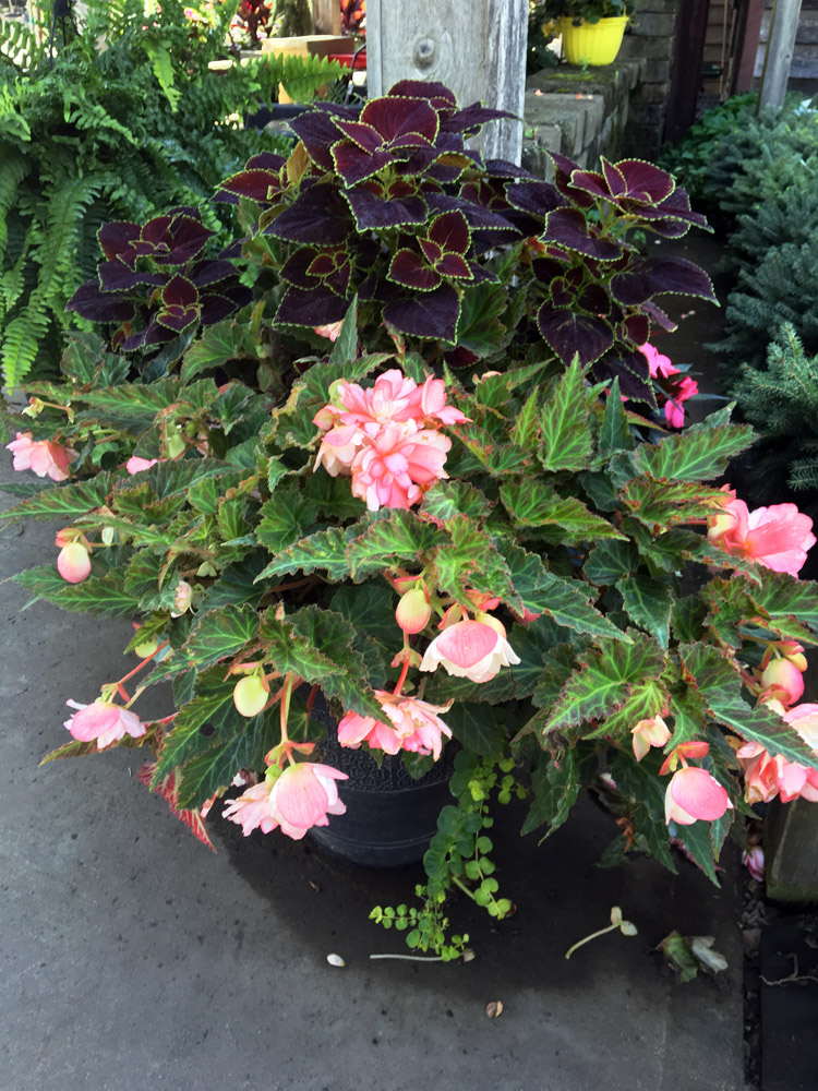 BegoniaPatioPlanter.jpg