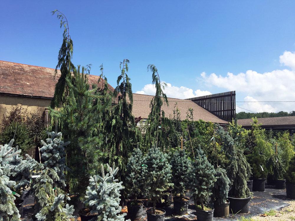 GardenCenterEvergreenTrees.jpg