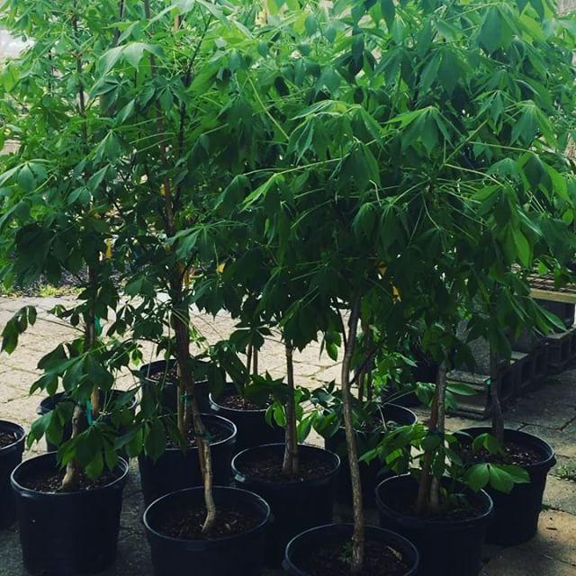 ♥️the Buckeyes?  Plant a Buckeye! 🔥DEAL going on!  Regular price- $119.00. NOW only $79.00 ✨ . . . . .  #buckeyetree #ohiobuckeyes #gobucks #bloomingsoon #plantshop #shoplocal #newarkohio #lickingcounty Only @albynsnursery