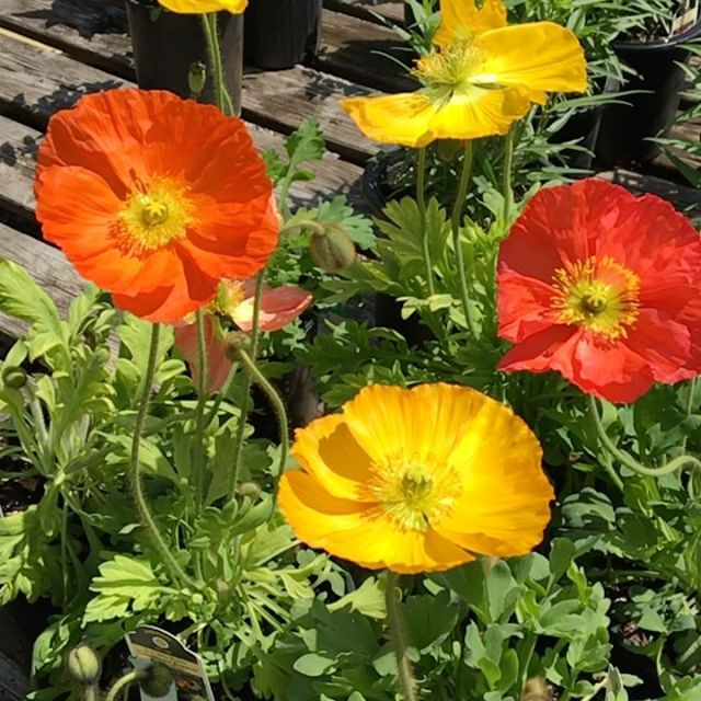 Let's pop some champagne 🍾 it's Friday ! . . . . . ❤️ing these Champagne Bubbles Iceland Poppy Flowers!!! . . . . . #poppy #brightblooms #springblooms #fullsun #deerresistant #fragrantblooms #cutflowergarden #perennialgarden #englishgarden #fastgrowing  #gardencenter #lickingcounty #shoplocal #newarkohio #sunshine🌞  Only $12.95 for 1 gallon!