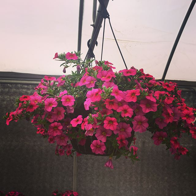 """Pre-Shop for Mother's Day! Beautiful SALE going on @albynsnursery 🌸 . . . . Buy 2 get 1 FREE -  10"""" Hanging Baskets 🌿🌺🌷🍃🌱 . . . . Regularly $18.99 each get your 3rd absolutely FREE !!! . . . . . #lickingcounty #gardencenter #flowershop #gardendecor #hangingplants #hangingbaskets #mothersdaygift #newarkohio #boldcolor #visualsoflife #flowerdecor #frontporch #patiodecor #hangingbasketflowers"""