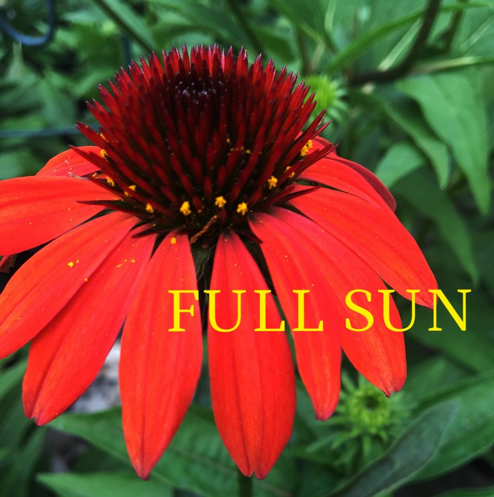 Coneflower Cheyenne Spirit flowers_0982.jpg