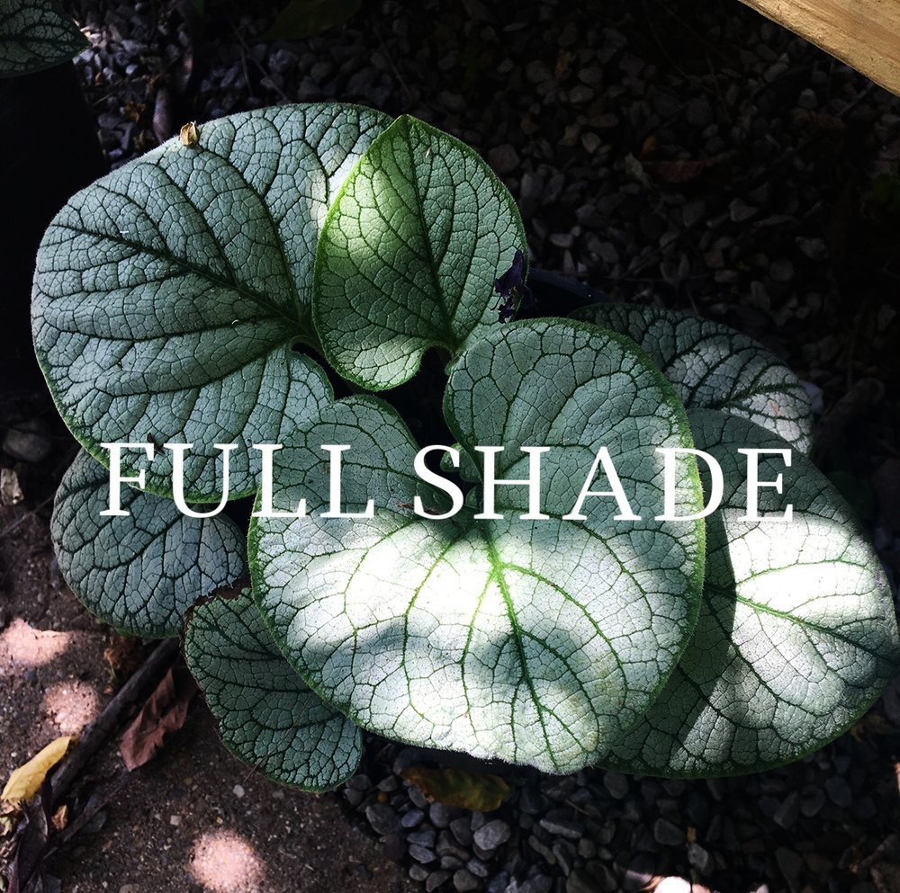 Brunnera Jack Frost shade perennial_0926.jpg