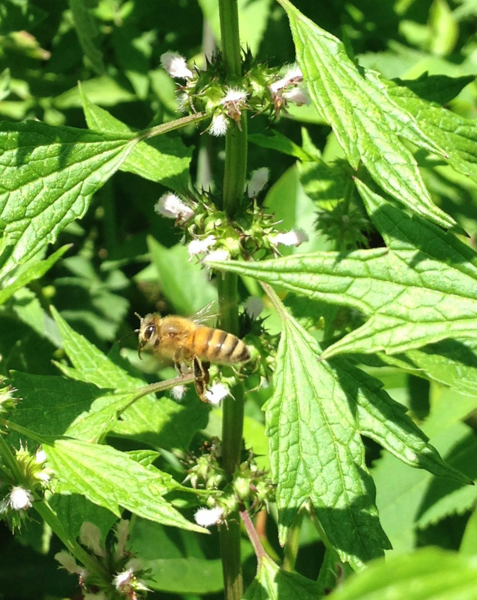 BeeHappy on Motherwort2_Fotor