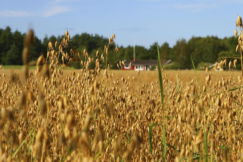 iStock_Wheat Fields.jpg