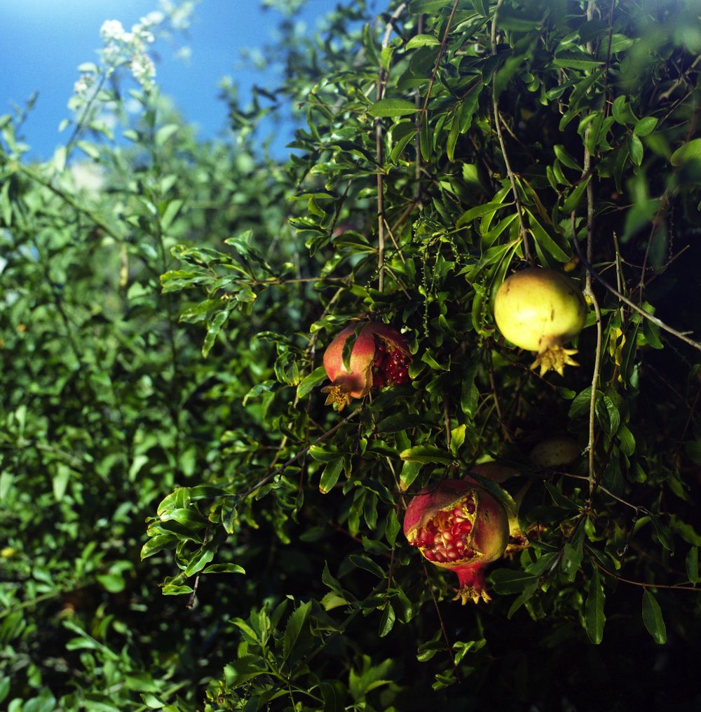 LORENA ENDARA  |   www.lorenaendara.com   |   @lalorilori   Pomegranates on Lorena Street in Boyle Heights, Los Angeles.  [ HUCK ]