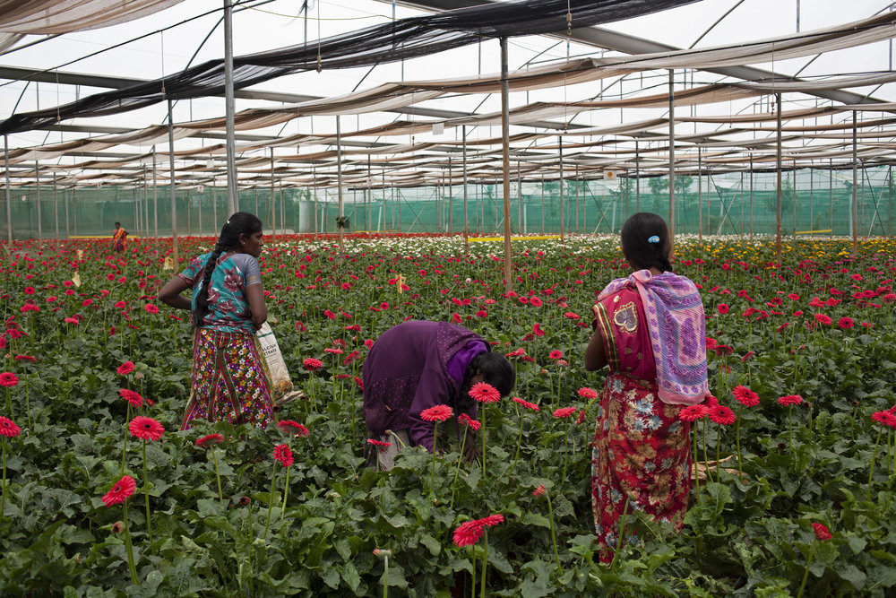 KAREN DIAS  www.karendiasphotography.com  |  @diastopia   Women workers pick gerberas in a greenhouse in the town of Dodballapura outside the city of Bangalore, India. Flower farms like this one account for close to 75 percent of India's total flower production. Cut flowers from these farms make their way across India and are also exported internationally to countries like the Netherlands, Germany and the UK.