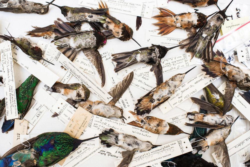 LUJÁN AGUSTI  www.lujanagusti.com  |  @lujanag   Several dead hummingbirds that have been confiscated at the U.S. Fish & Wildlife Service Forensics Laboratory in Ashland, Oregon, the only full-service Lab in the world dedicated to crimes against wildlife. Pepper Trail, Ornithologist and Senior Forensic Scientist, is currently studying the crime against hummingbirds used as amulets.  From National Geographic:    Inside the Black Market Hummingbird Love Charm Trade