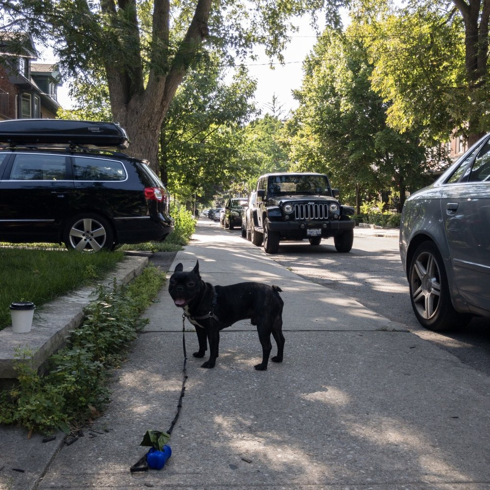 French Bulldog in Roncesvalles