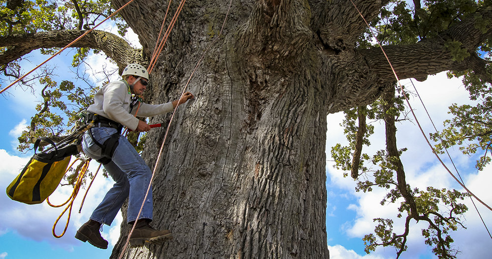TFL Arborist Matt Schmittgens installs lightning protection on the famous McBaine Bur Oak in Boone County, MO.