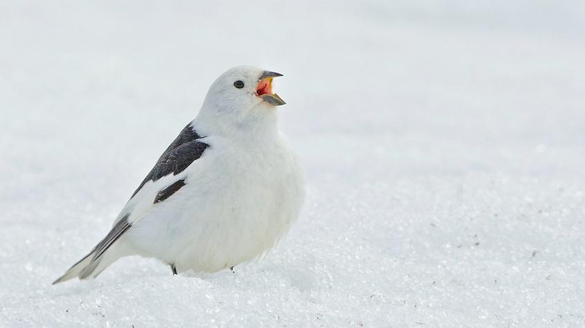 Snow-bunting2.jpg