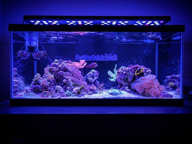 Full tank shot.  #reeftank #coral #clownfish #koletang #montipora #duncancoral #platecoral #gorgonian