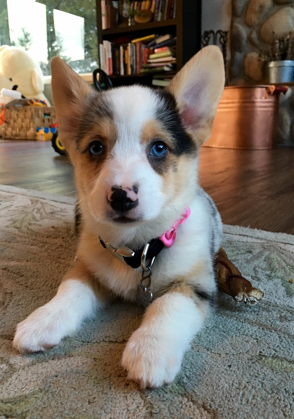Baby Blue as a pup