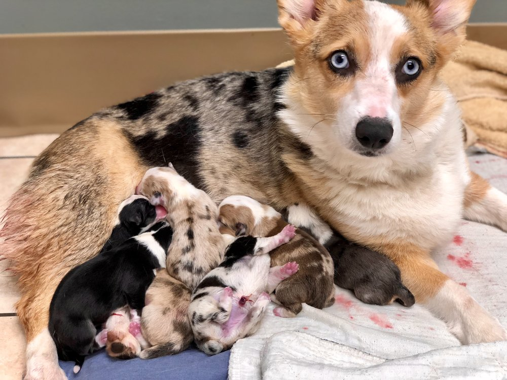 Baby Blue with pups.jpg