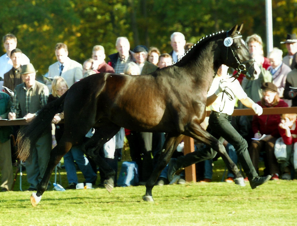 Finn at the stallion licensing