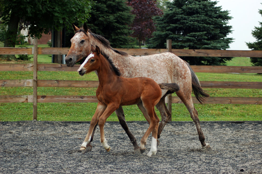 Crazy Diamond (Corlando/Escudo II/Rebel Z) With her nurse mare