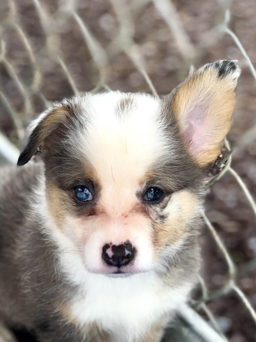 Baby Blue Bluie merle1.jpg