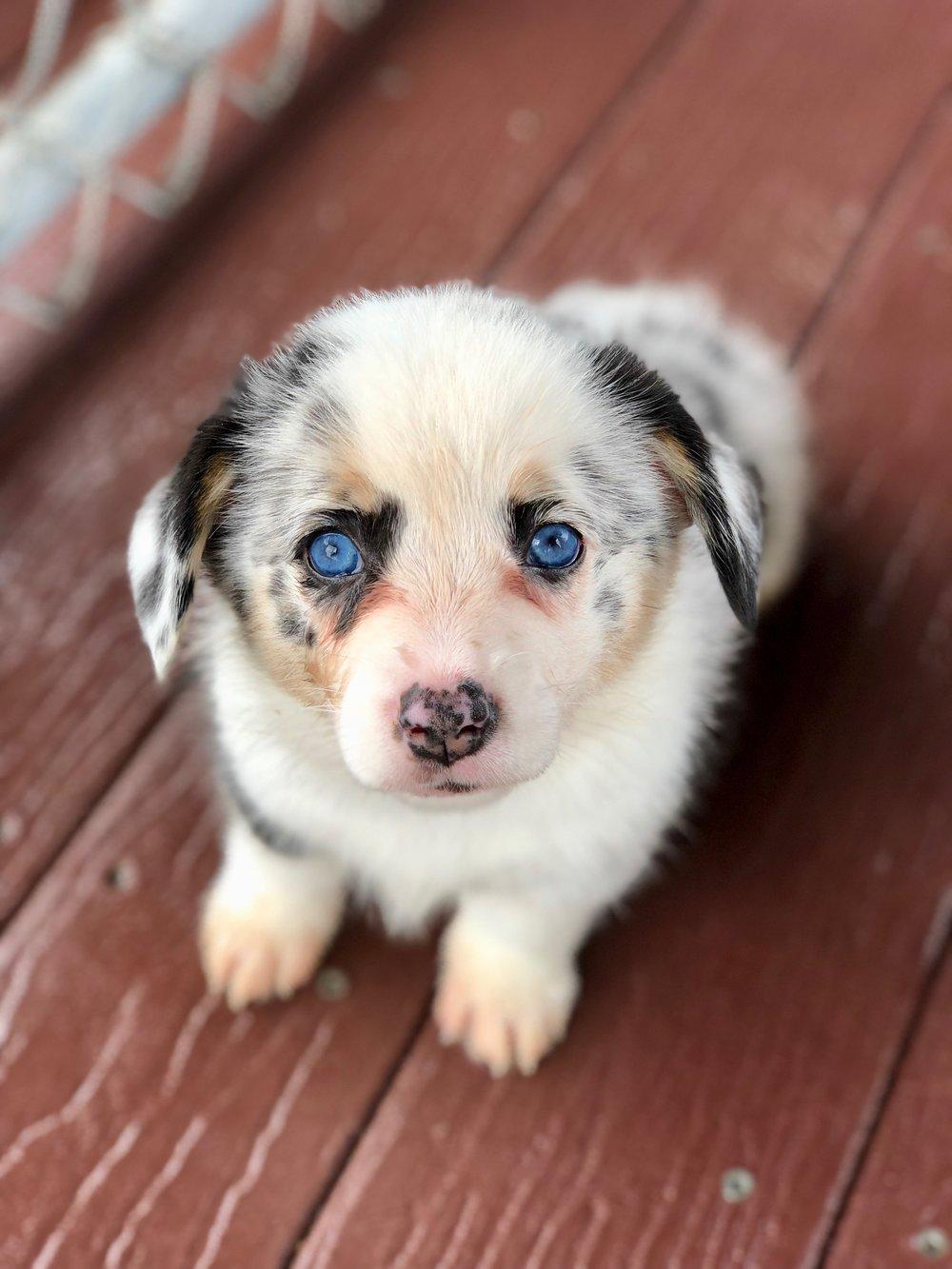 Baby Blue pup blue merle.jpeg
