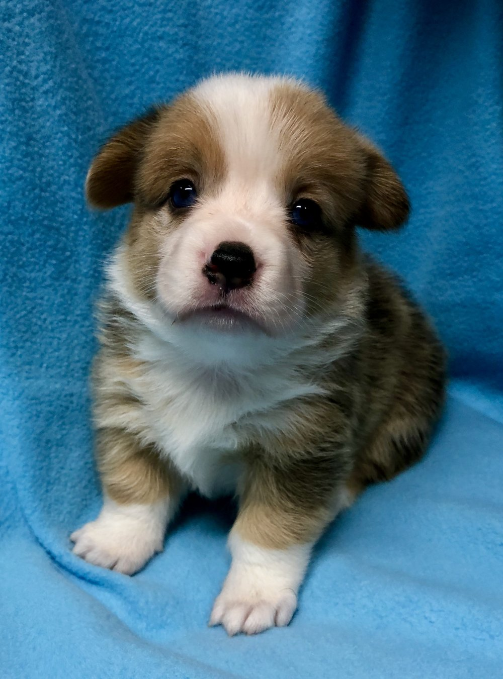 Baby Blue red merle2.jpg