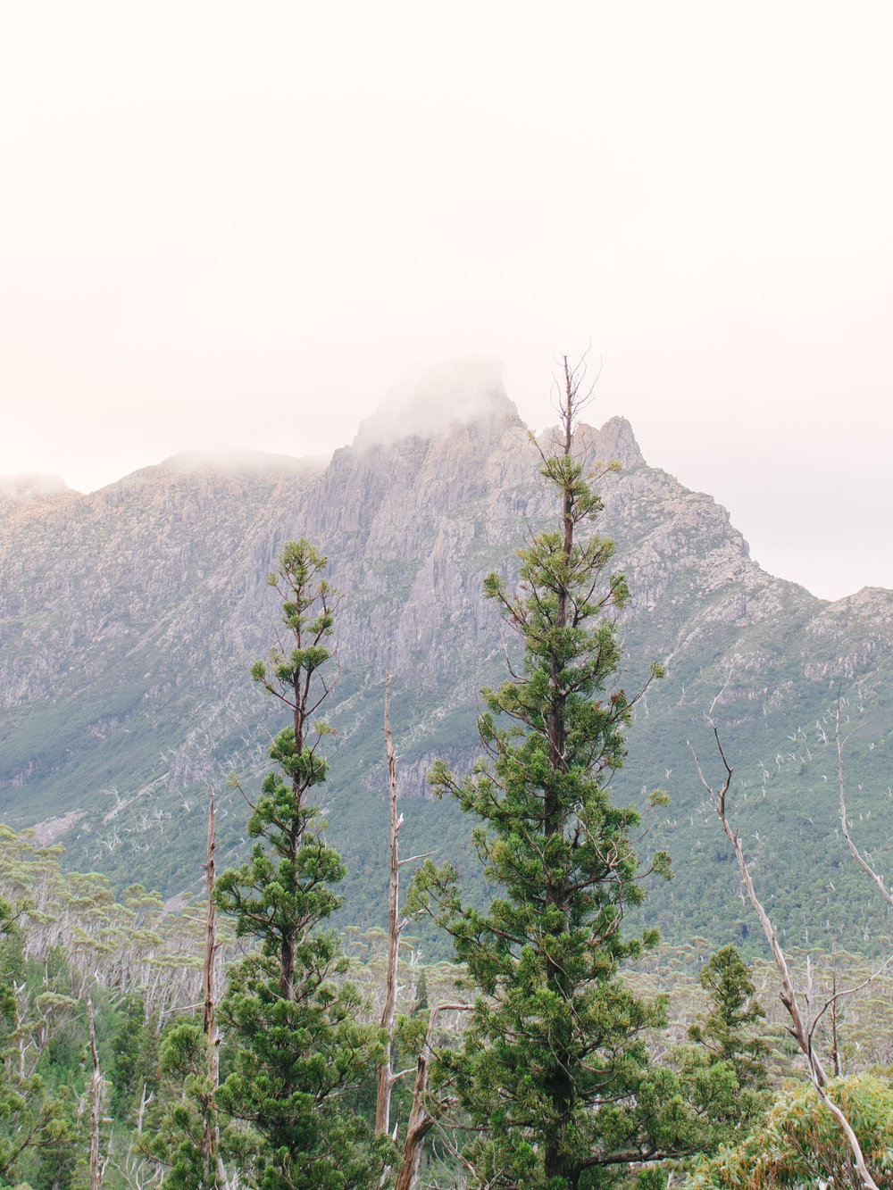 Geryon Pencil Pine