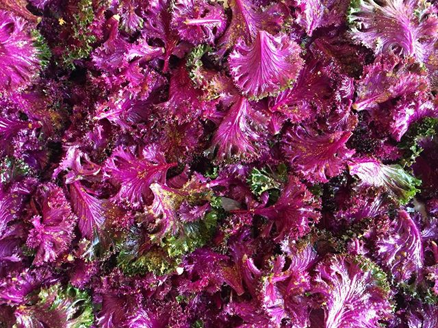 Flowering red kale looking all pretty without even trying 🌱🌸🌱🌸 • Ready for roasting and eating in our Winter Greens Salad with everyone's favourite lemon shallot vinaigrette!