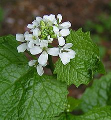 Garlic mustard. Photo by Sannse.