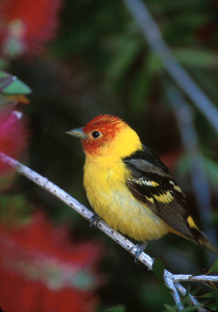 Western Tanager.jpg