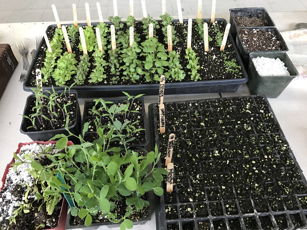 seeds starts at seed class  2.26.17.JPG
