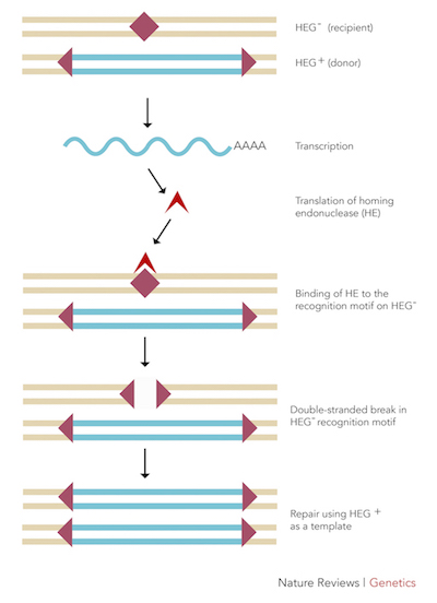 Figure 1: The mechanism by which homing endonucleases function.