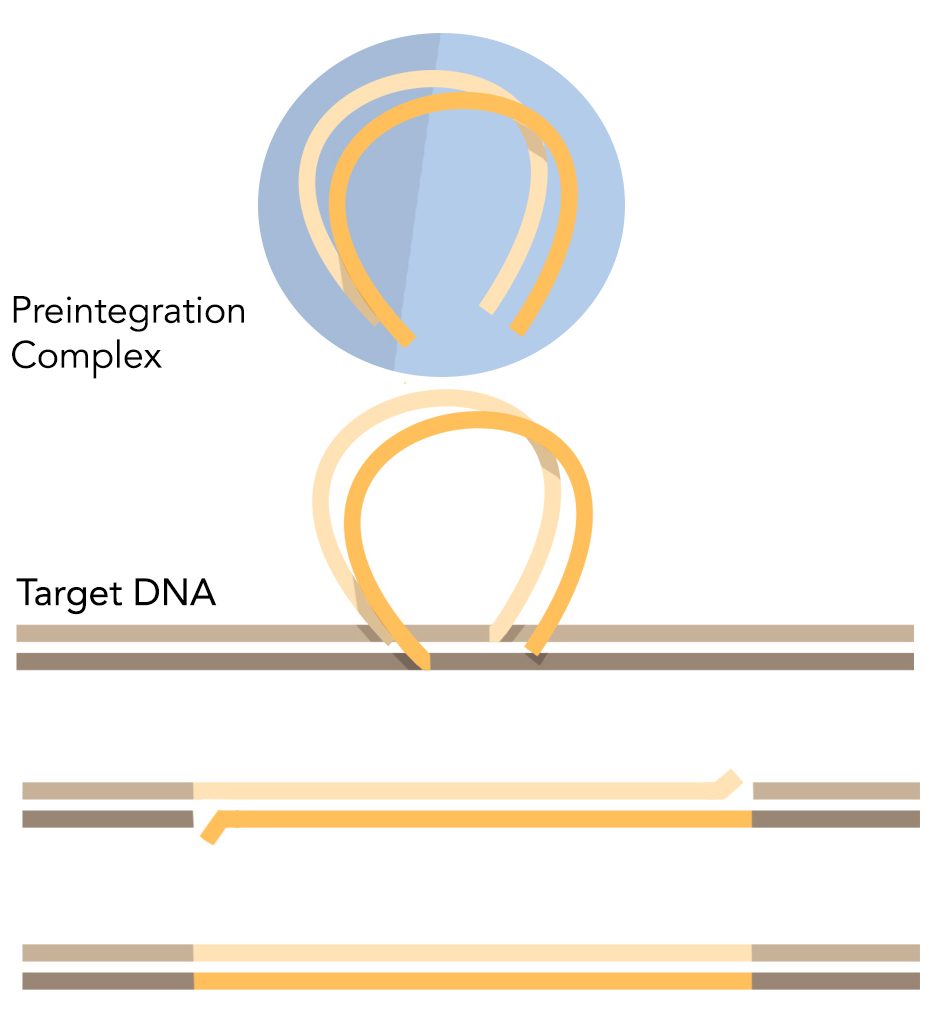 Figure 1: Integration of retroviruses into the genome.