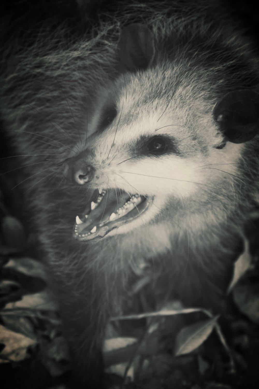 possum.jpeg