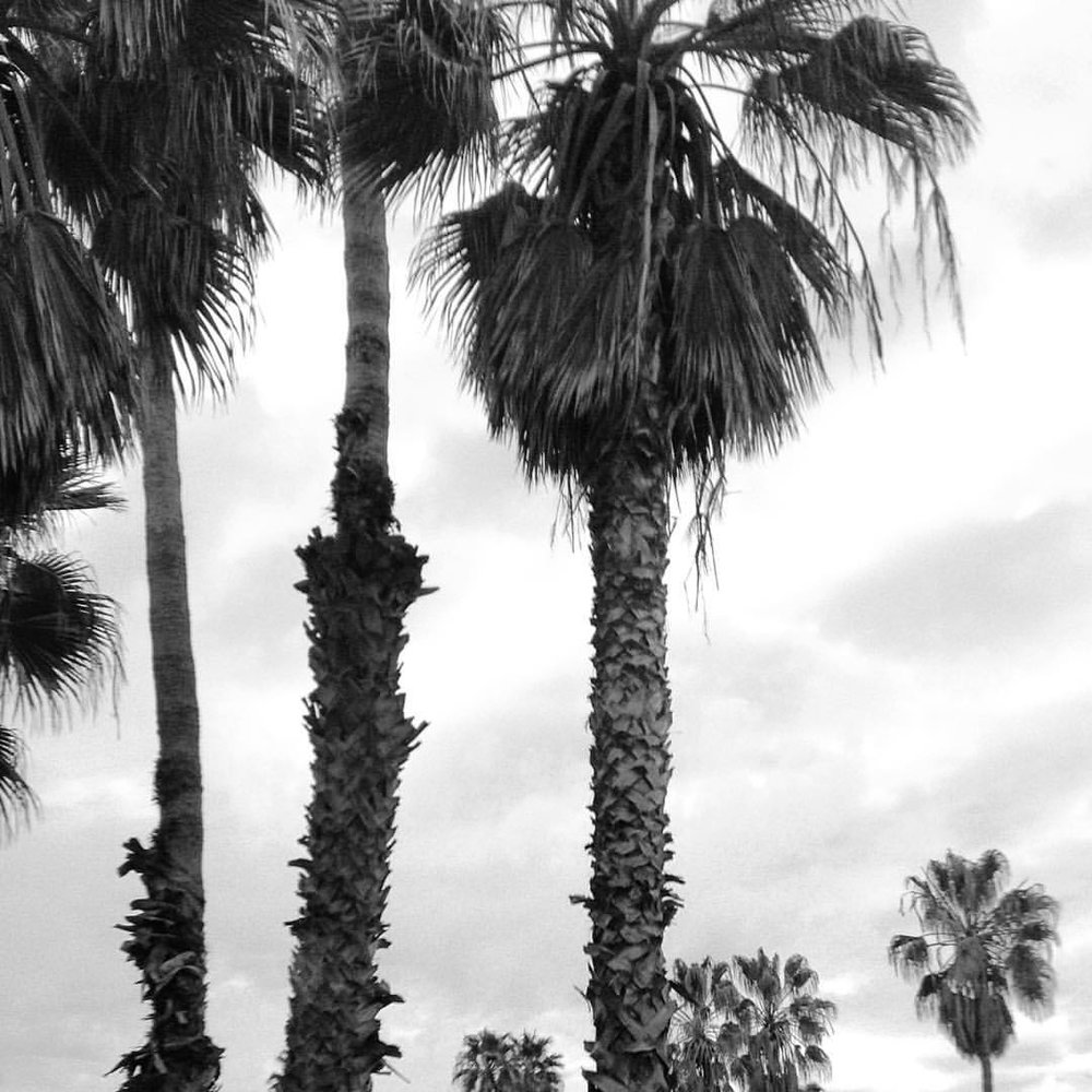 California, 2016. Palms for days.
