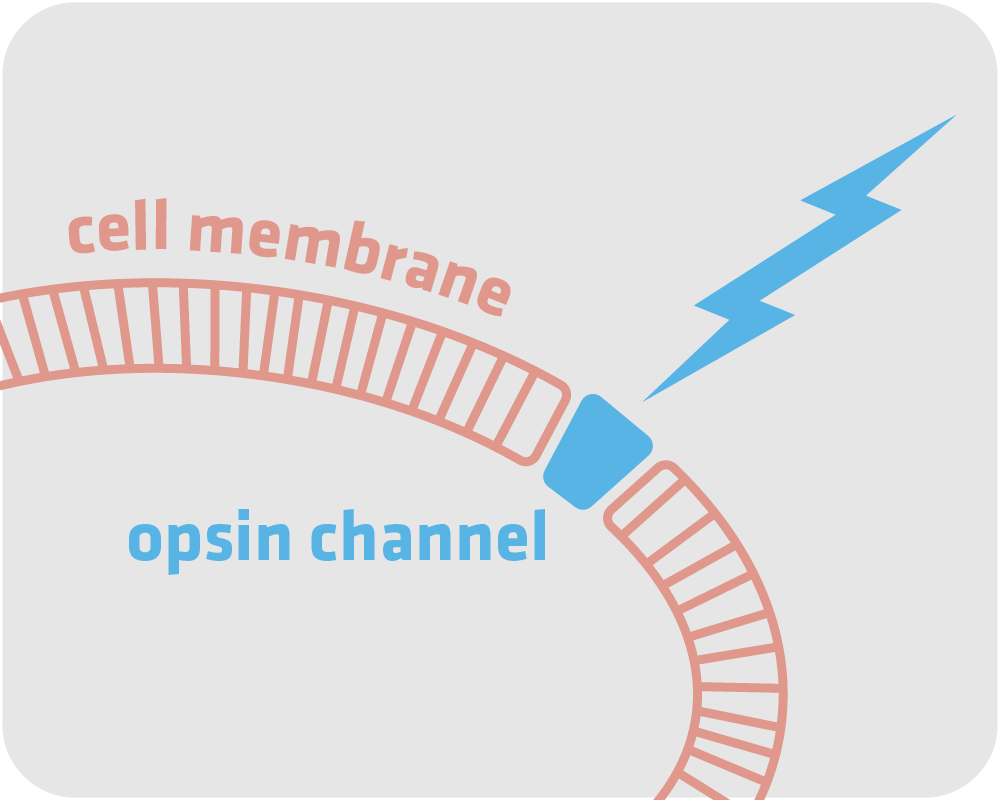 optogenetics infographic_FOR WEB-03.png