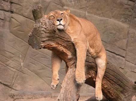 sleepy lion.jpg