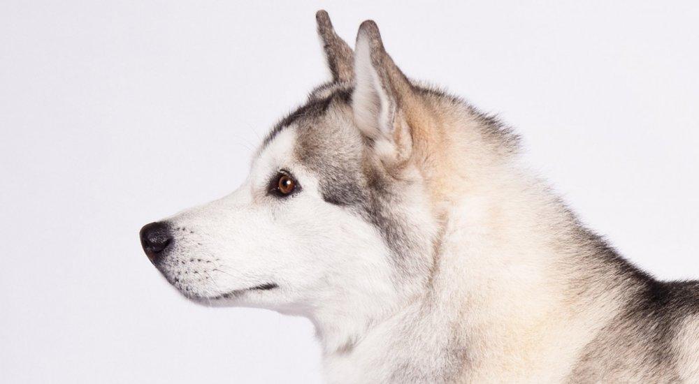 The origin of the Siberian Husky