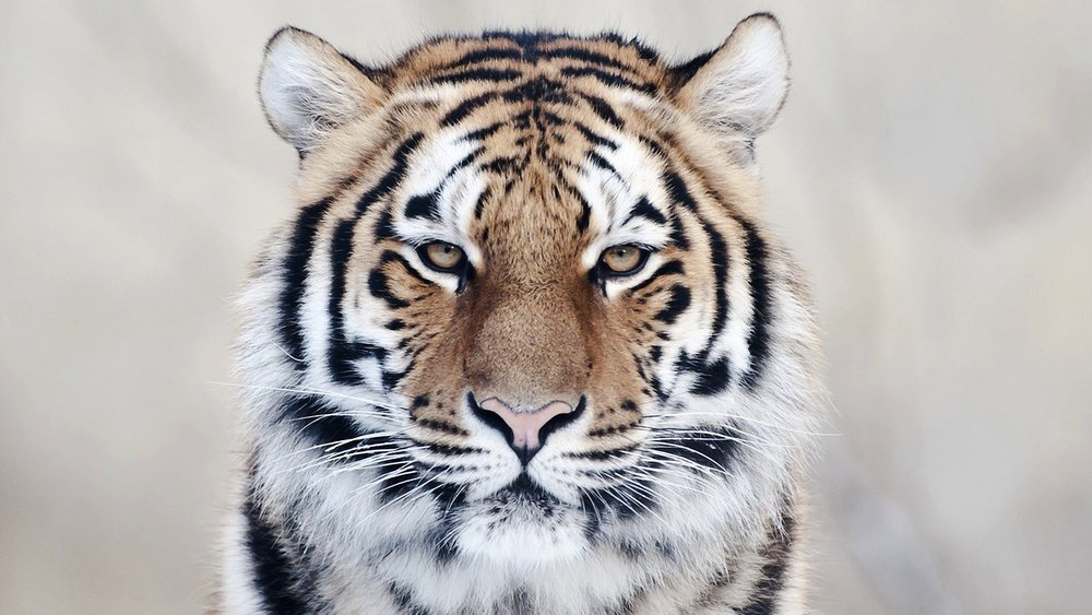 Siberian tiger, let's protect them
