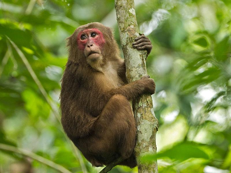Macaca arctoides ,courtesy http://www.nzmc.org/ztg/491