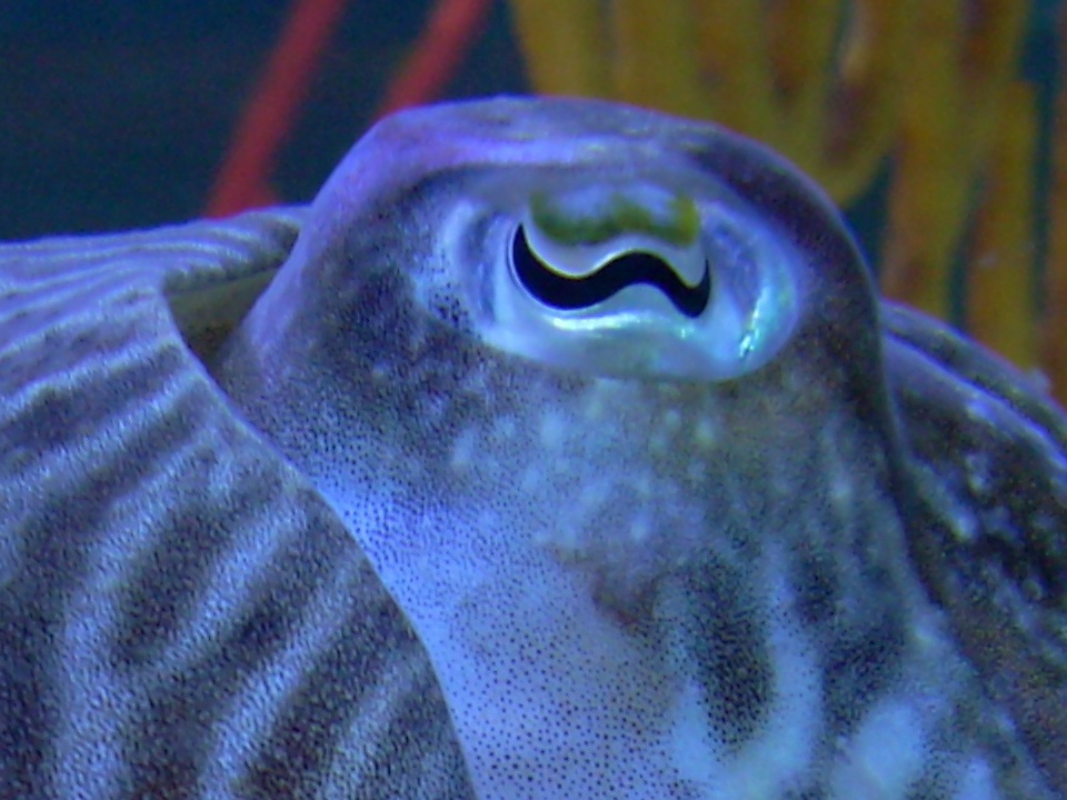 A cuttlefish eye and its sinusoidal pupil. (Courtesy of Wiki Commons)