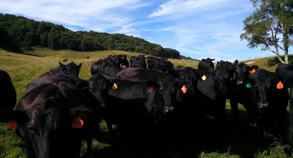 cows-square.jpg