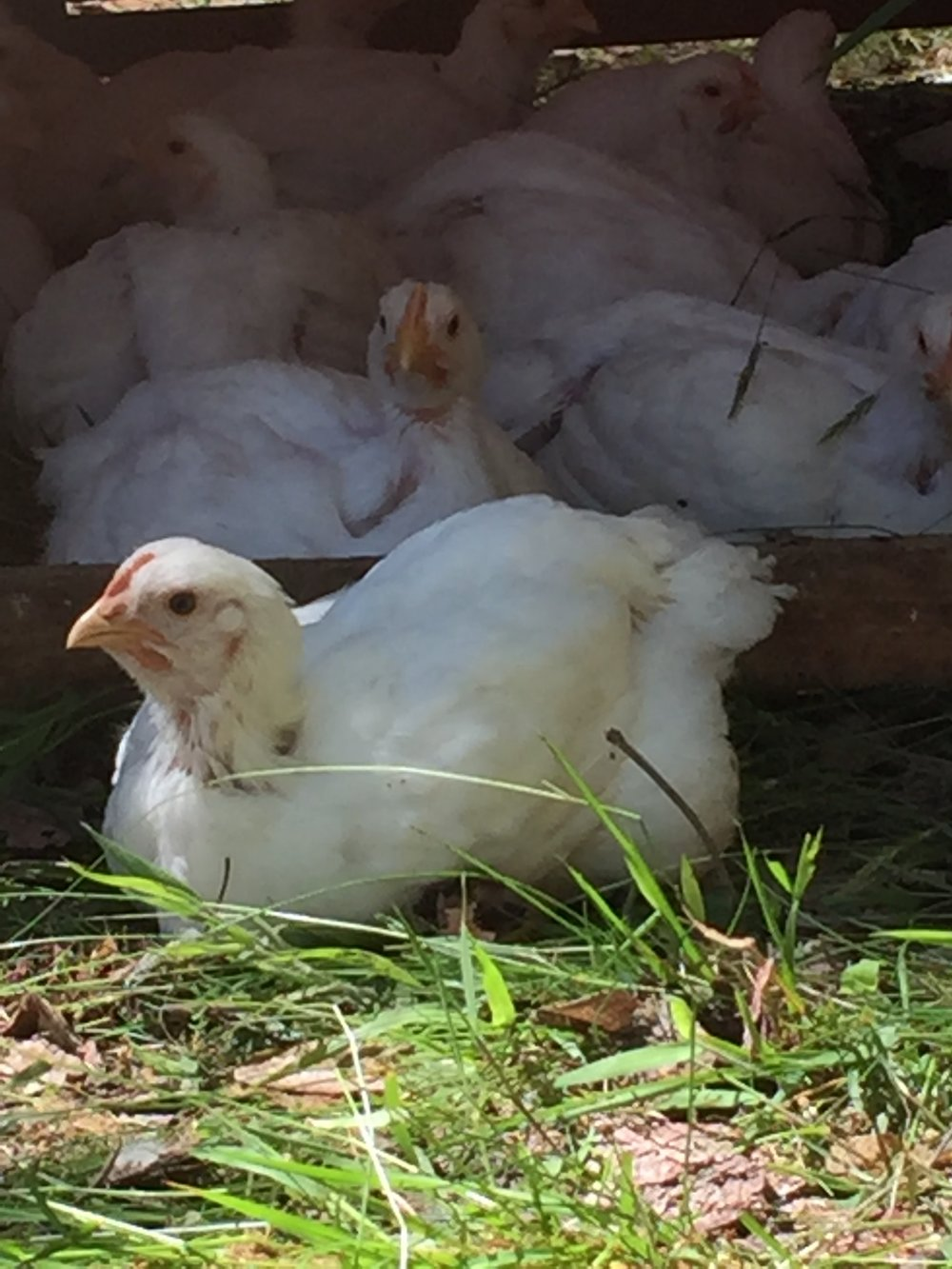 Pastured Poultry