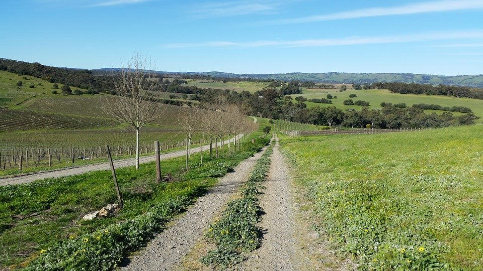 Where will your career path take you? (If only all paths lead to a winery...)  Photo of  Kay Brothers  vineyard, McLaren Vale